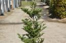 Conifers C45