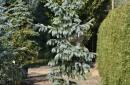 Conifers C60