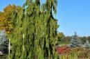 Conifers C90+