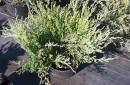 Coniferous cuttings and seedlings C2 and C3