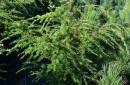 Coniferous cuttings and seedlings C5