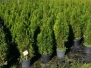 Coniferous cuttings and seedlings C10