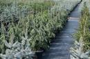 Conifers grafted C10