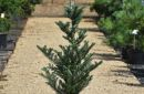 Conifers grafted C20