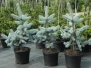 Conifers grafted C4 and C5