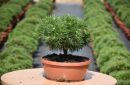 Conifers grafted C7,5 and C7 decor