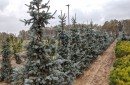 Conifers with rootball B