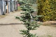 Abies veitchii 'Glauca' C45 200-250