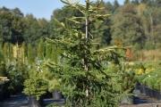 Picea abies 'Końca' C45 175-200