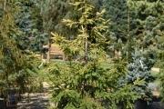Picea abies 'Końca' C45 200-250