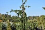 Picea abies 'Pendula Major' C45 200-250