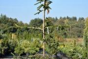 Picea abies 'Virgata' C45 250-300