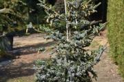 Picea bicolor C45 175-200