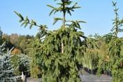 Picea omorika 'Aurea' C45 175-200