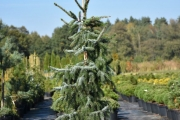 Picea omorika 'Bruns' C45 150-175