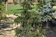 Picea orientalis 'Aureospicata' C45 150-175