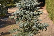 Picea pungens 'Blue Trinket' C45 150-175