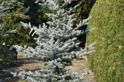 Picea pungens 'Edith' C45 200-250