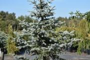 Picea pungens 'Erich Frahm' C45 175-200