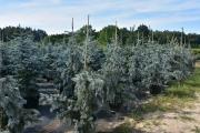 Picea pungens 'Glauca Pendula' C45 125-150