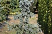 Picea pungens 'Glauca Pendula' C45 150-175