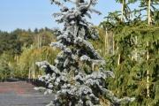 Picea pungens 'Hoopsii' C45 175-200