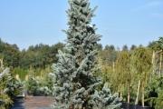 Picea pungens 'Iseli Fastigiate'  C45 200-250