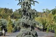 Picea pungens 'Moerheim' C45 175-200