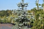 Picea pungens 'Omega' C45 175-200