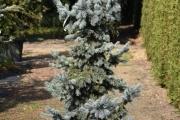 Picea pungens 'Schovenhorst' C45 150-175