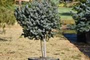 Picea sitchensis 'Nana' C45 Pa40 60-80