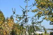 Picea abies 'Cranstonii' C60 400-450