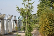 Picea abies 'Finedonensis' C60 250-300