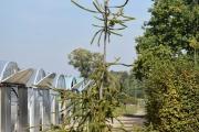 Picea abies 'Virgata' C60 250-300