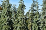 Picea glauca 'Pendula' C60 250-300