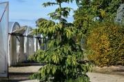 Picea omorika 'Aurea' C60 250-300