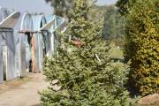 Picea omorika C60 200-250