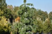 Picea omorika 'Pendula' C60 200-250