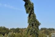 Picea omorika 'Pendula Kuck' C60 200-250