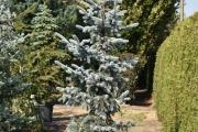 Picea pungens 'Hoopsii' C60 200-250