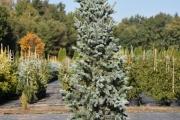 Picea pungens 'Iseli Fastigiate' C60 200-250