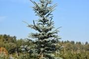 Picea pungens 'Iseli Foxtail' C60 250-300