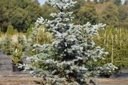 Picea pungens 'Omega' C60 175-200