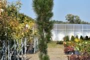 Pinus nigra 'Zimmer' C60 250-300