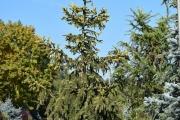 Picea abies 'Aurea' C90 250-300
