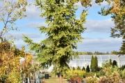 Picea abies 'Aurea Magnifica' C130 400-450