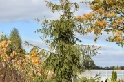 Picea abies 'Pruhoniceana' C130 450-500