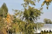 Picea abies 'Pruhoniceana' C90 350-400