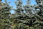 Picea pungens 'Edith' C130 200-250