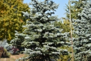 Picea pungens 'Fat Albert' C90 175-200